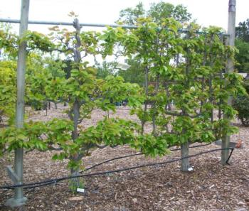 50 best Espaliered Fruit Trees images on Pinterest