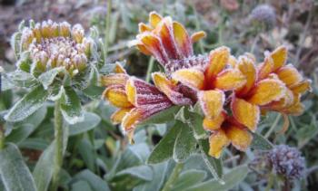 frost on blossoms