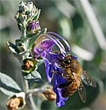 Teucrium fruticans with bee