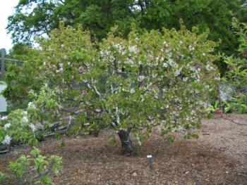 Grafted cherry