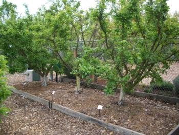 Pluot hedgerow