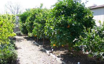 citrus genetic dwarf