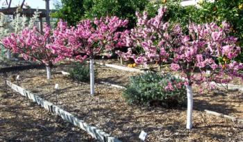 Nectarine Tree Size