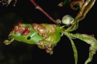 leaf curl