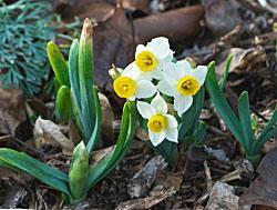 Narcissus-c