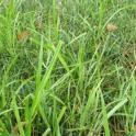 Nutsedge/Nutgrass