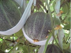 Melons in tee-shirt slings