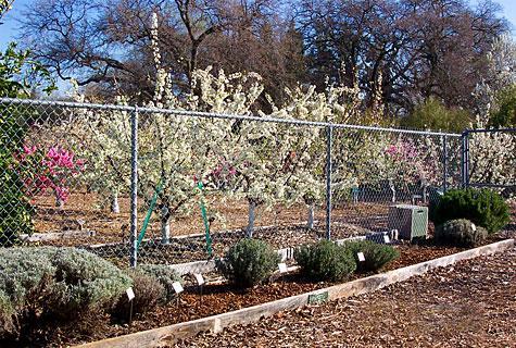 FOHC Orchard