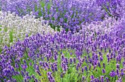 Lavender. Click to enlarge.