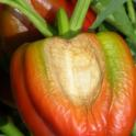 Sunscald on Red Pepper