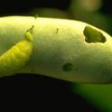 Lycaenid pod borer on bean.