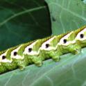 Tomato hornworm larva.