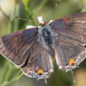 Lycaenid pod borer adult (Gray Hairstreak).