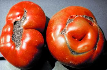 Catfacing on Tomato