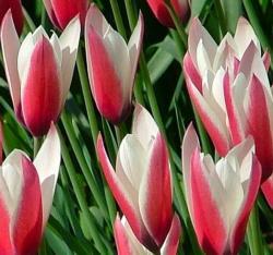 'Peppermint Stick' Tulip