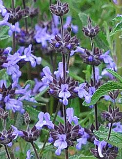 Salvia brandegeei 'Pacific Blue'