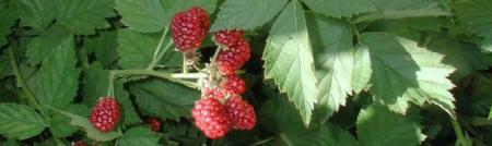 berries long2